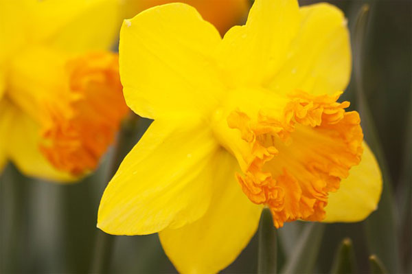 Narcissus [水仙花] - Chinese Flowers