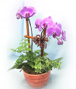 Buy Orchid Plants Online China