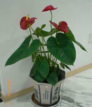 Anthurium A