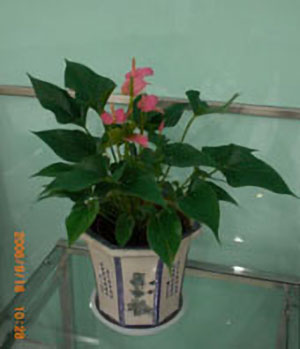Anthurium C
