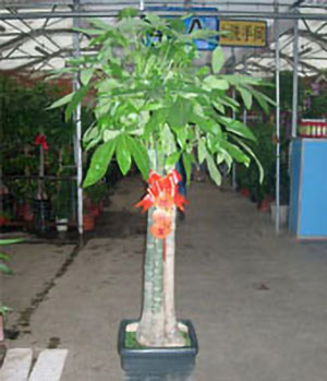 Money Tree -  plants to china