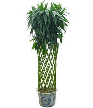 Lucky Bamboo to China