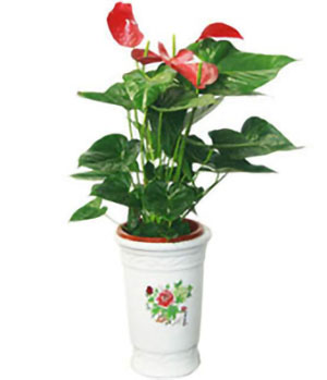 Anthurium Plant - China