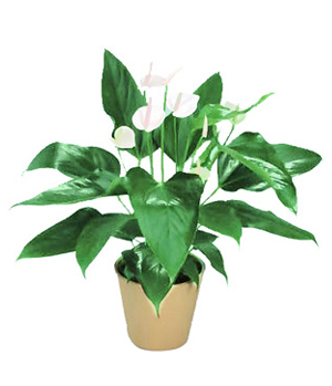 Five Peace Lilies In Pot