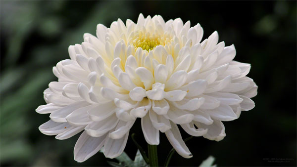 Chrysanthemum [菊花] - Chinese Flowers
