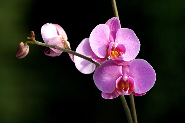 Orchid [兰花] - Chinese Flowers