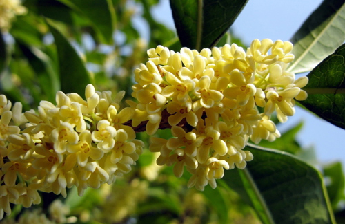 Osmanthus [桂花] - Chinese Flowers