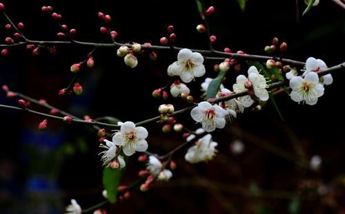 Plum blossom [梅花] - Chinese Flowers