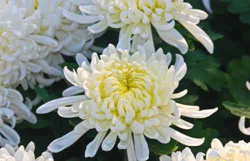 Do not send chrysanthemum casually chinaflower214 chinese flower white chrysanthemum mightylinksfo