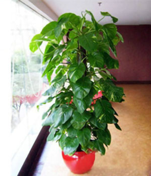 Pothos Plant: send pothos to China