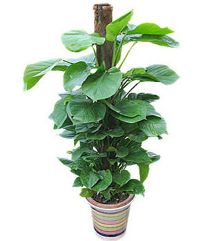 Pothos Plant Nearly Natural