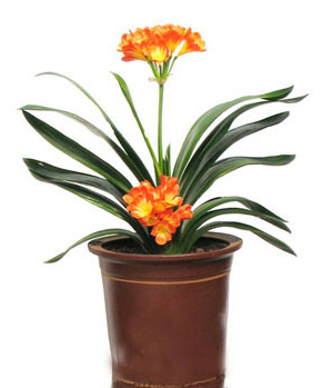 Clivia delivery China