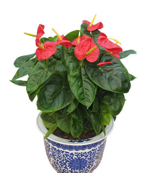 send anthurium to China