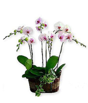 6 White Orchid