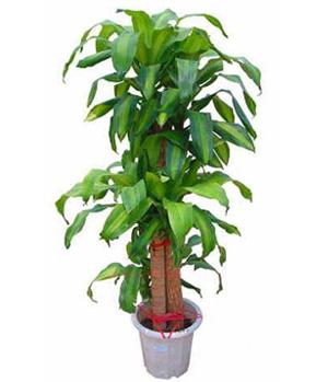 Brazil Plant