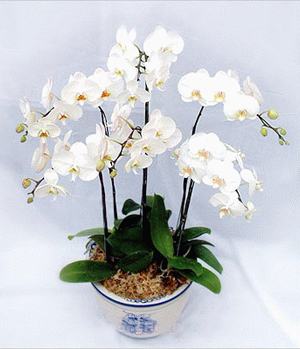 Five White Moth Orchids
