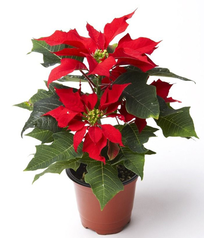 Poinsettia Plant: Chirstmas Flowers Delivery in China